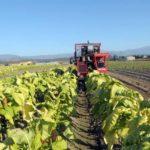 Lluvias obligan a extender hasta febrero las siembras de tabaco en Cuba