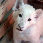 """Primer león blanco nacido en cautiverio en México, un """"cachorro milagro"""""""