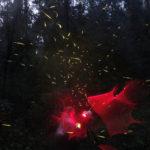 La presencia de luciérnagas, indicador clave para la conservación de bosques