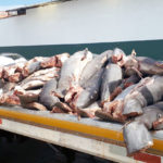 Abandonan al menos 86 tiburones muertos en Michoacán
