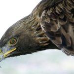 México tiene 138 parejas reproductivas de águila real