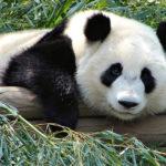 Ciudad de México, el hogar de los únicos pandas que no pertenecen a China
