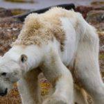 Cambio climático amenaza la supervivencia de los osos polares