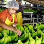 Ingresos por exportaciones de bananos hondureño crecieron 2,7 % en 2017
