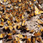 Mariposa monarca disminuye en México y expertos culpan al cambio climático