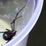 Solo 175 de 47.000 especies de araña presentan riesgos para la salud humana