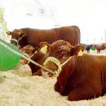 Exportadas más de 60 mil cabezas de ganado a EU