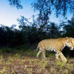 México es líder en estrategias de conservación del jaguar en Latinoamérica