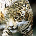 Segundo Censo de población del Jaguar tiene resultados alentadores
