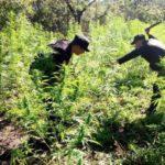 Policía erradica 329.049 matas de marihuana en Guatemala
