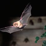 Adaptación genética permite a murciélagos alimentarse sólo de sangre