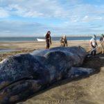 ONG uruguaya rescata a ballena encallada en la costa sureste del país
