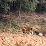 "Un tigre mata a cuidador de un zoo chino acusado de vender ""vino de tigre"""