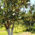 Avanza proyecto integral en  zona manzanera de Canatlán