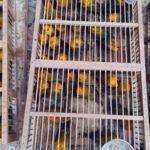 Autoridades peruanas decomisaron 10.398 animales del tráfico ilegal en 2017