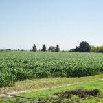 Quedará sin sembrar 35% de campo duranguense