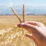 Apuesta Sagarpa a la producción de cebada