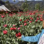 Senado mexicano estudiará la despenalización de amapola con fines medicinales