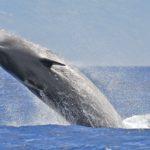 Encuentran una ballena beluga en el Támesis, a 40 kilómetros de Londres