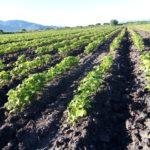 El TecNM-ITVG impulsa proyecto para  un manejo integral del cultivo del frijol