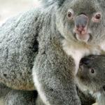 La tala de árboles puede acabar con los koalas del este de Australia en 2050