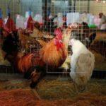 España firma preacuerdo para proveer 3 de cada 10 pollos que consuma Cuba