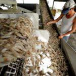 Honduras reanudará exportaciones de camarón a México