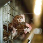 Cuba negocia pacto con firma española para producir 30% del pollo que consume