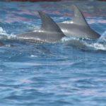 Presentan al público dos crías de delfín nacidas en oceanario de Cartagena