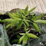 Responsable de Salud de Nueva York advierte sobre legalización de marihuana