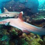 México rastrea tiburones vía acústica y satelital para conservar ecosistemas